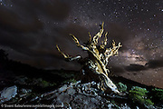 A Bristlecone pine tree stands against the Milky Way in the Schulman Grove of the Ancient Bristlecone Pine Forest in Inyo National Forest, California.