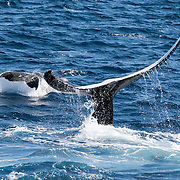 Humpback whale (Megaptera novaeangliae) female calf engaged in tail slapping with her mother. Both the adult and calf had a lot of white on their bodies. I gave the calf the nickname Snow White. This was our second encounter with this female/ calf pair. On this occasion, there was no escort accompanying them. During our first meeting, there was an escort, which was also quite white.