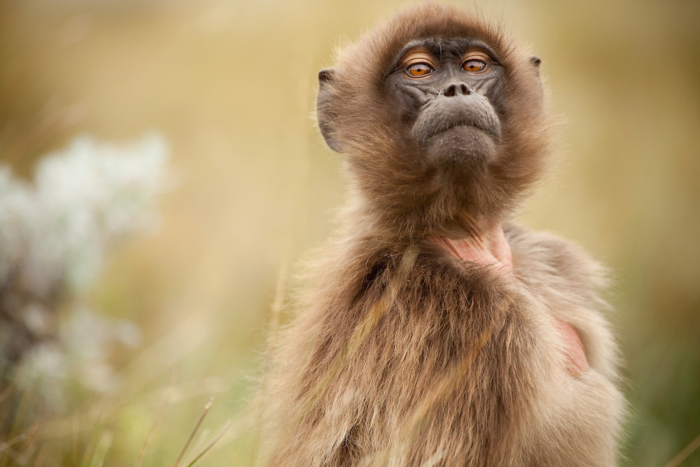 Female Gelada baboon, Theropithecus gelada, looking inquisitively on the Guassa Plateau, Ethiopia