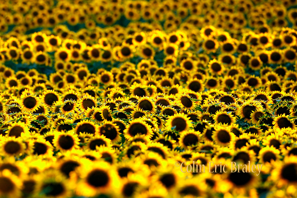 Beautiful Wall Art Photography of Sunflowers For Sale - A late afternoon sun makes Sunflowers glow in a Kansas field. Photo by Colin E. Braley