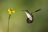 Costa Rica - Hummingbirds