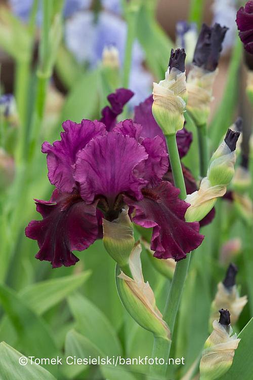 Iris 'Saturn'