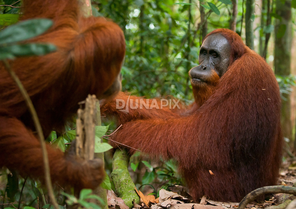 Orangutan interaction as revealed by an over-the-shoulder view.