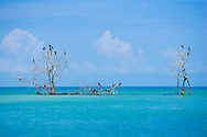 Birds rest on trees embedded in a sandbar  in the Ten Thousand Islands in South Florida.
