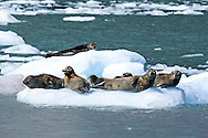 Harbor seals rest on an ice floe in coastal Alaska