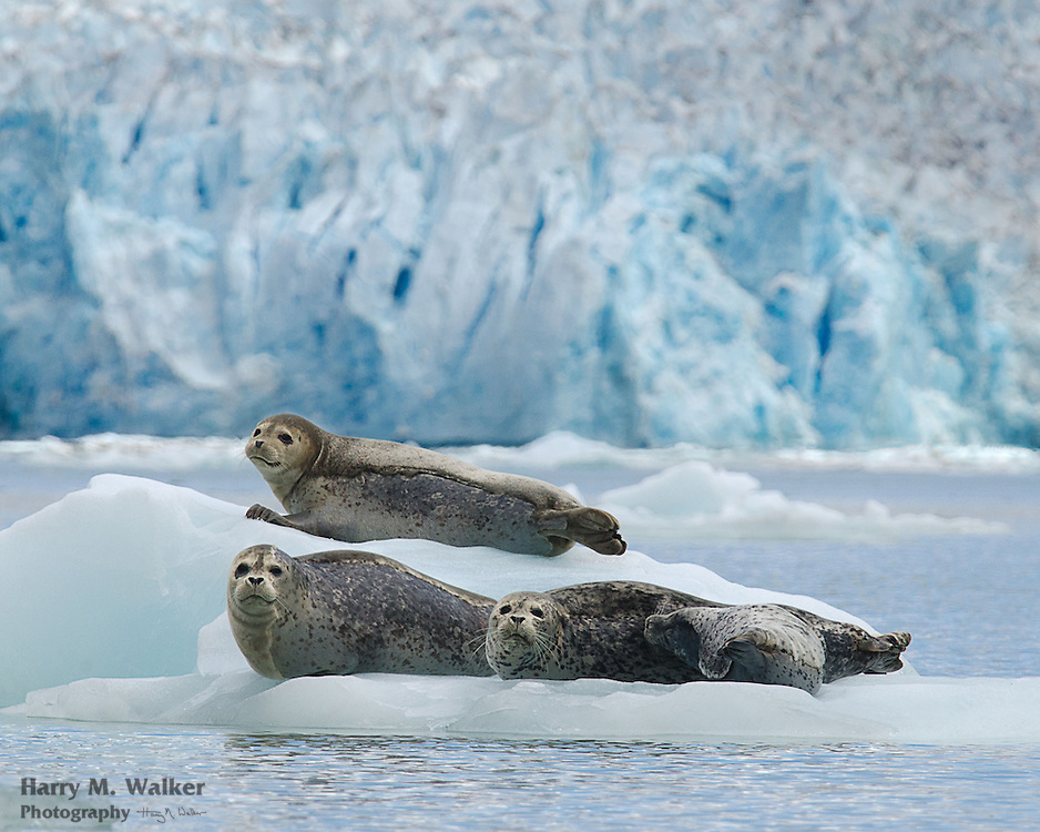 Harbor seal (Phoca vitulina) pup nurses with 2 other adult seals resting nearby on iceberg in front of Dawes Glaier in Southeast Alaska
