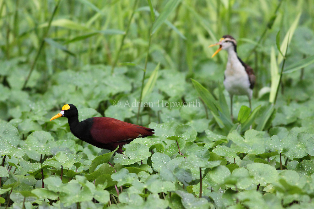Adult (foreground) and juvenile Northern Jacanas (Jacana spinosa) next to natural canal, Tortuguero National Park, Costa Rica. <br /> <br /> For pricing click on ADD TO CART (above). We accept payments via PayPal.