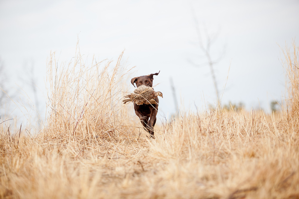 Chocolate Lab retrieving pheasant.