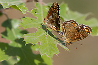 Phyciodes pulchella (Field Crescent) at Alder Creek, Tulare Co, CA, USA, on 02-Jun-13