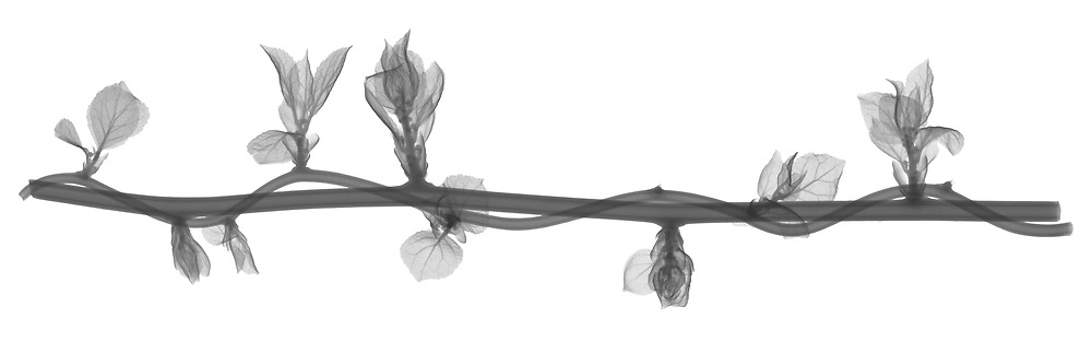 X-ray image of twisting Oriental bittersweet (Celastrus orbiculatus, black on white) by Jim Wehtje, specialist in x-ray art and design images.