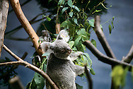The koala (Phascolarctos cinereus) is an arboreal herbivorous marsupial native to Australia, and the only extant representative of the family Phascolarctidae. Its closest living relatives are the wombats. The koala is found in coastal areas of the mainland's eastern and southern regions, inhabiting Queensland, New South Wales, Victoria and South Australia. It is easily recognisable by its stout, tailless body, round, fluffy ears and large, spoon-shaped nose. It is popularly known as the koala bear because of its bear-like appearance. The koala has a body length of 60–85 cm (24–33 in) and weighs 4–15 kg (9–33 lb). Pelage colour ranges from silver grey to chocolate brown. Koalas from the northern populations are typically smaller and lighter in colour than their counterparts further south. It is possible that these populations are separate subspecies, but this is disputed.