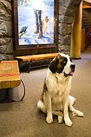 Heidi the St. Bernard mountain dog mascot at Timberline Lodge, Mount Hood, Oregon.