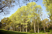 Populus tremula European aspen trees growing in wet land near Kirton Suffolk, England