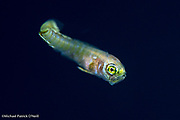 A larval Mahi Mahi or Dolphinfish, Coryphaena hippurus, hunts near the surface at night in the Gulf Stream current offshore Palm Beach, Florida, United States.
