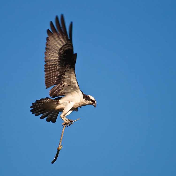 An adult osprey (Pandion haliaetus) carries a stick as it slows for a landing on its nest on Port Mahon Road, Port Mahon, Delaware.