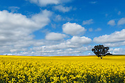 Sun breaks over canola crop in field with tree blue sky with spotted cloud near Cowra, New South Wales, Australia. <br />