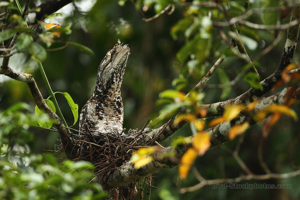 Marbled Frogmouth, Podargus ocellatus, Papua New Guinea, by Markus Lilje