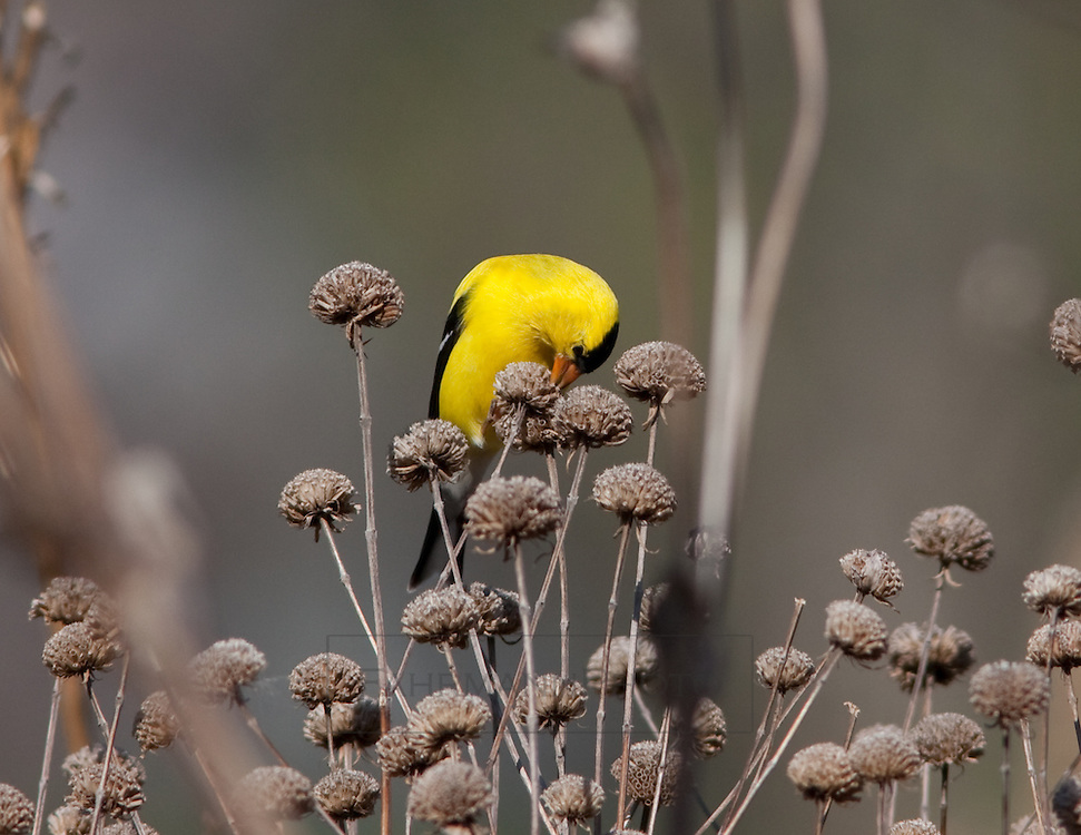 An American Goldfinch sits among a group of dried flower cones picking seeds from one of them with its beek