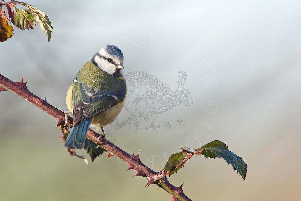 Blue Tit (Parus caeruleus) adult, perched on bramble, winter, Norfolk, UK.