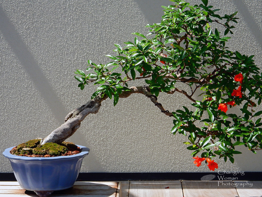 "A bonsai pomegranate tree, festooned with orange blooms, leans away from its blue ceramic pot, its precarious appearance symbolic of balance. Featured in the bonsai collection at Longwood Gardens, Kennett Square, PA, this specimen trained in the shakan, ""slanting,"" style is reportedly over 100 years old."