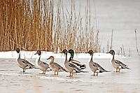 Resting Northern Pintails are joined by a pair of Mallards on an ice shelf in a northern Utah marsh.