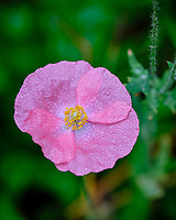 Pink Poppy. Image taken with a Fuji X-T3 camera and 80 mm f/2.8 macro lens
