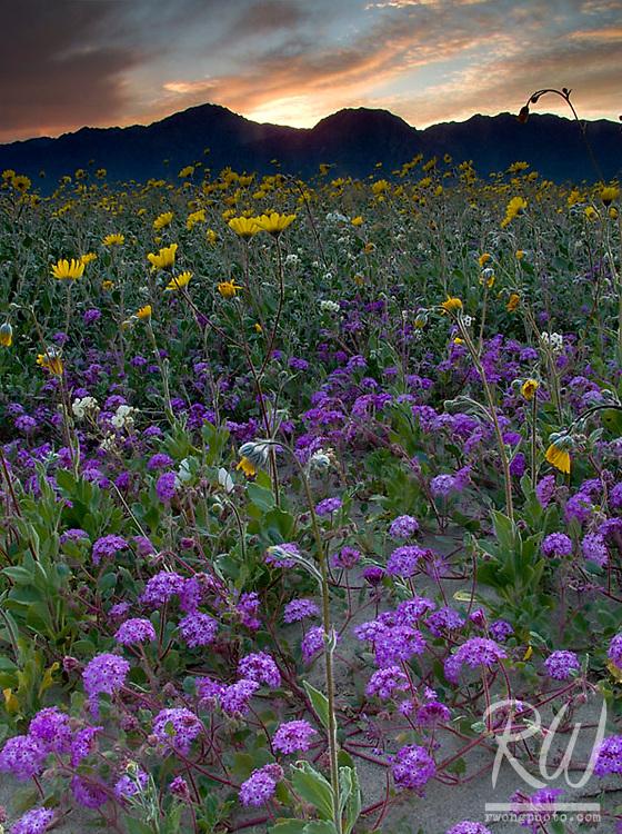 Wildflowers at Sunset, Anza Borrego Desert State Park, California