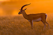 Grant's gazelle (Nanger granti) in the orange morning light in Maasai Mara, Kenya.