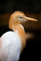 Eye catching Cattle Egret with its mating plumage.