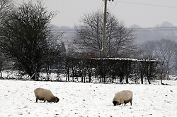 © Licensed to London News Pictures. 13/02/2013.The cold weather continues in Kent today (13/02/2013) with lots of snow  making life hard for these sheep in Polhill,Kent.. Photo credit : Grant Falvey/LNP
