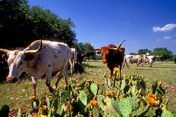 group of cattle grazing near some cactus