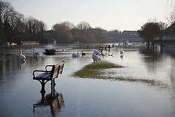 © Licensed to London News Pictures. 12/01/2014. Reading, Berkshire, UK. Swans wading through flood water along the Thames Path in Reading, Berkshire. The River Thames has broken its banks causing extensive flooding. Photo credit : Rob Arnold/LNP