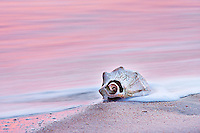 A whelk shell at sunrise on Kitty Hawk beach. The long exposure blurred the motion of the waves into a sea of pink color reflected from the sunrise.