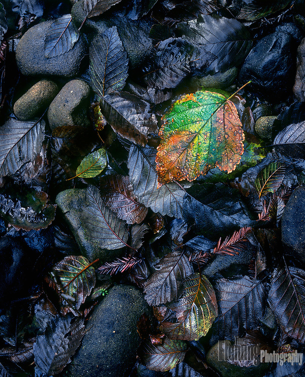 Shining wet leaves in Mendocino county, California