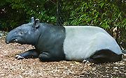 The Malayan Tapir (Tapirus indicus) is one of four tapir species in the world, this one in Asia and three in Central and South America. All four look and behave similarly, live in tropical forests, and are endangered due to hunting and habitat destruction. Saving the world's tapirs involves saving their tropical forest habitats. Woodland Park Zoo, Seattle, Washington, USA.