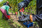 Only the best grapes are taken so bunches are inspected before being added to teh red buckets - Seasonal workers from Romania start picking the Pinot Noir grapes at the Redfold Vineyard which produces English Sparkling wine in East Sussex.