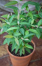 Lemon plants in containers. Backhousia citriodora - Sweet verbena tree