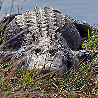American Alligator frontal view, Everglades National Park, Florida