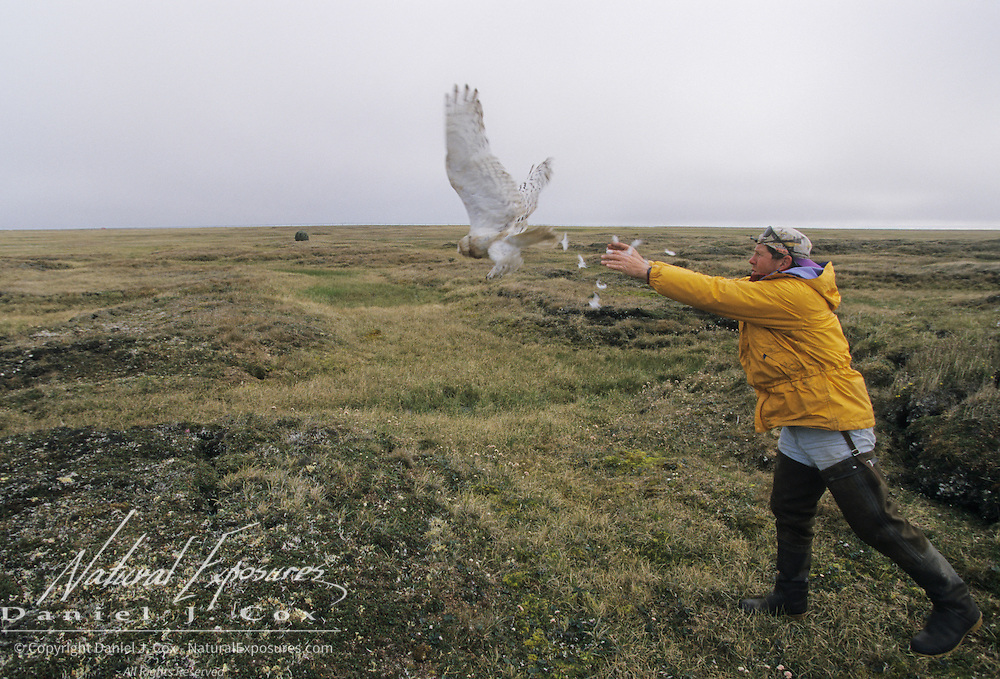 Denver Holt releases a snowy owl (Bubo scandiacus) female with a satellite transmitter.