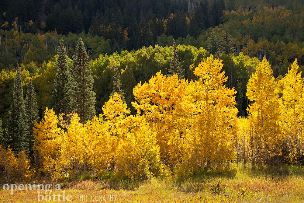 Aspen trees in full fall color, near Ashcroft, Colorado south of Aspen.