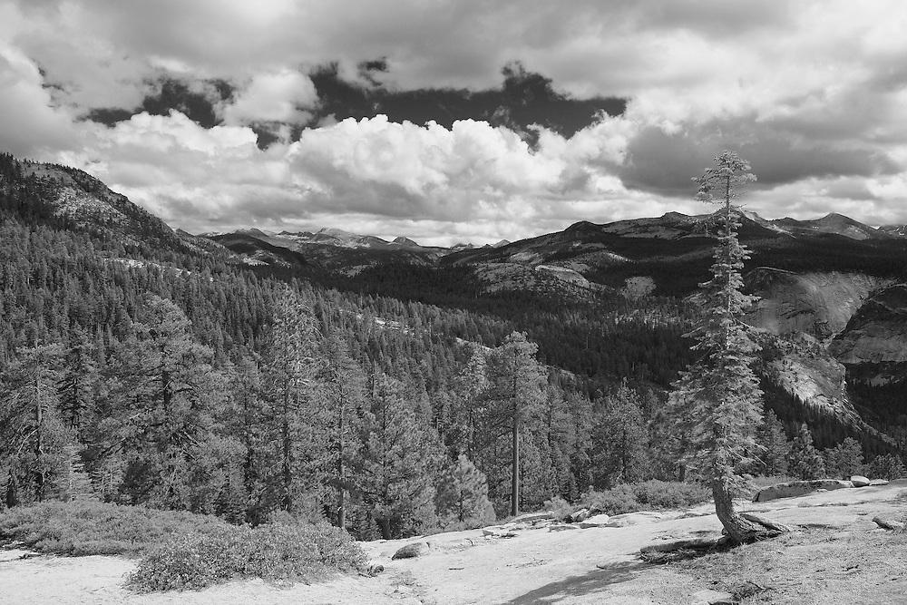 Jeffrey Pine At Clouds Rest - Yosemite - Black & White