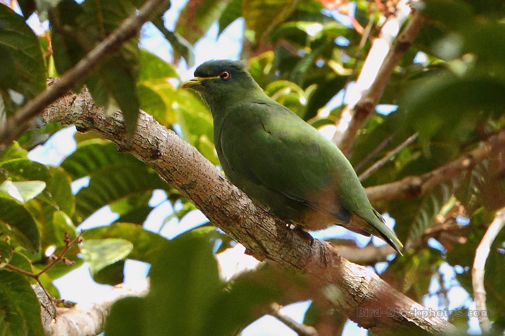 White-bibbed Fruit Dove, Ptilinopus rivoli, on tree branch, Papua New Guinea, by Markus Lilje