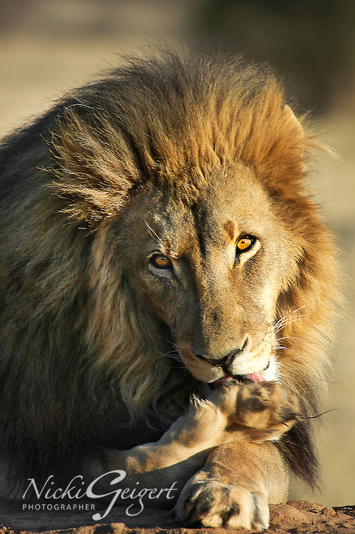 Male lion grooming after a meal, Namibia, Africa. Wildlife and nature photography. Wall art and stock images. Nicki geigert.