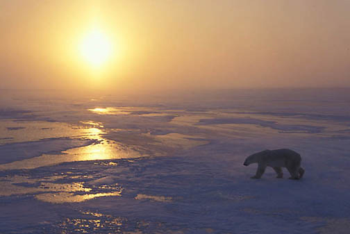 Polar Bear, (Ursus maritimus) On frozen ice of Churchill, Manitoba. Canada. Evening.