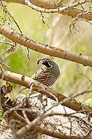 A male California Quail stands on a fallen tree next to a river in northern Utah.