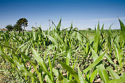 05 MAY 2008 -- BUCKEYE, AZ: Corn growing in a field in Buckeye, AZ. Corn and wheat prices have skyrocketed in the last two years as energy prices have gone up and the use of corn crops in ethanol have taken corn out of the food chain and placed it in the energy industry. Les Heiden, owner of the Heiden Land & Cattle Company, said his corn prices have gone up by 123% since May, 2006. He attributes about 85 percent of the price increase to the ethanol industry, which he said his buying five times more corn now than they were two years ago. Heiden feeds about 4,500 head of cattle in his feed lot, which is west of Phoenix.  Photo by Jack Kurtz