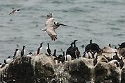 USA, Oregon, Newport, Yaquina Head, NLCS, a Brown Pelican (Pelecanus occidentalis) flies over a colony of Common Murre (Uria aalge) and Brandt's Cormorant (Phalacrocorax penicillatus)