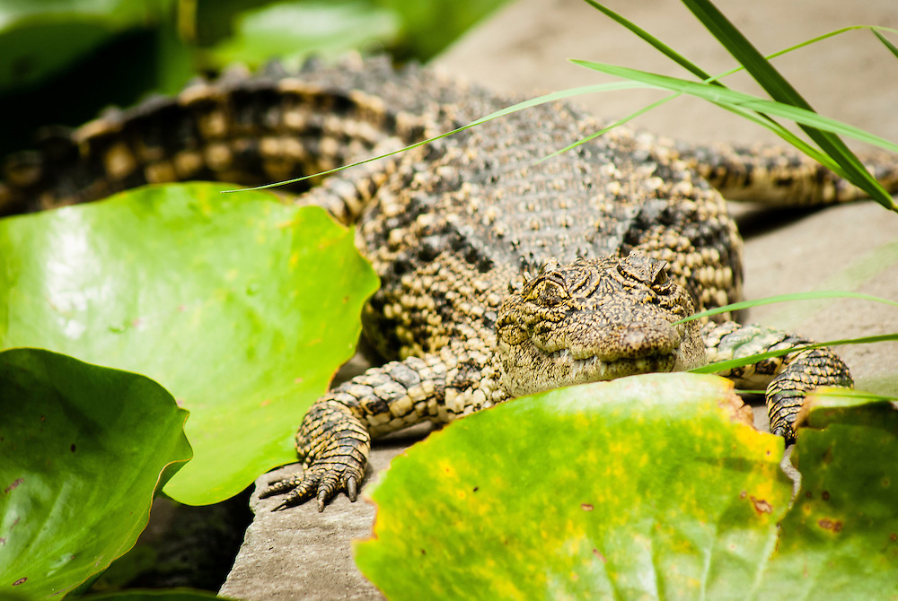 Young crocodile basks in the sun