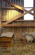 17/03/05 - BEAUBERY - SAONE ET LOIRE - FRANCE - Nourrisseur a agneaux. EARL BAJARD. Selectionneur Charolais - Photo Jerome CHABANNE