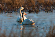 Two tundra swans (Cygnus columbianus) watch the sun rise over the Ridgefield National Wildlife Refuge, located in Ridgefield, Washington.
